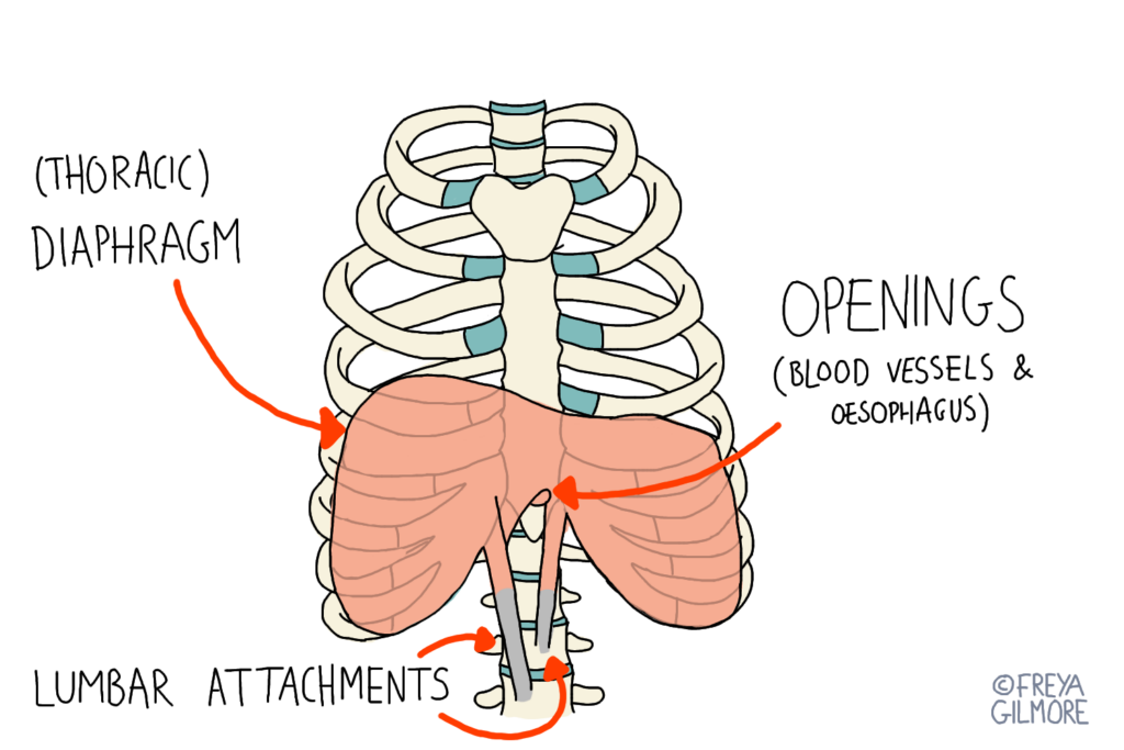 The thorax: ribs and diaphragm
