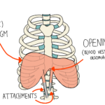 The Diaphragm (and shoulders)